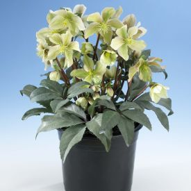 Helleborus Winter Sunshine®